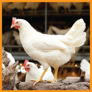 feed-poultry2