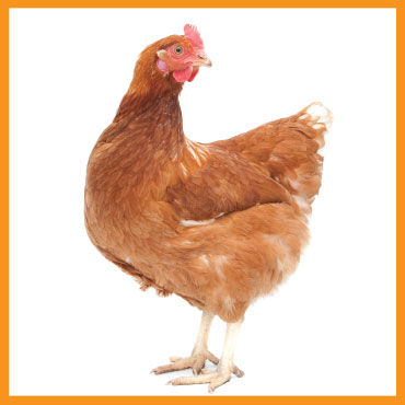 feed-poultry3