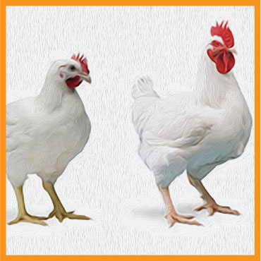 feed-poultry7