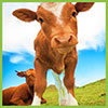 feed-cow3-small