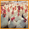 feed-poultry5-small